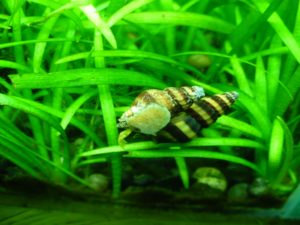 assassin snails mating